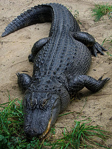 Alligators in Florida can stop defendants who flee & elude officers in the Tampa Bay area.